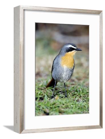 Cape Robin-chat-Peter Chadwick-Framed Art Print