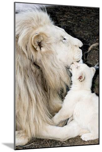 Male White Lion And Cub-Tony Camacho-Mounted Photographic Print