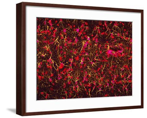 Glial Cells-Thomas Deerinck-Framed Art Print