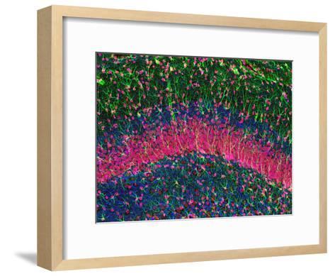 Hippocampus Brain Tissue-Thomas Deerinck-Framed Art Print