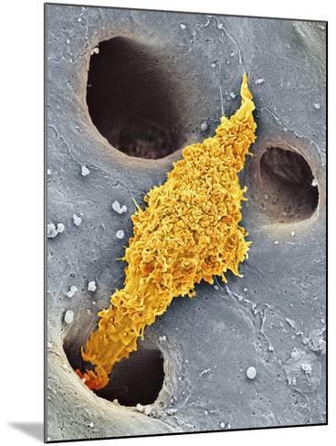 Liver Macrophage Cell, SEM-Thomas Deerinck-Mounted Photographic Print