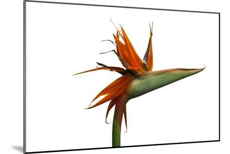 Bird of Paradise Flower-Victor De Schwanberg-Mounted Photographic Print