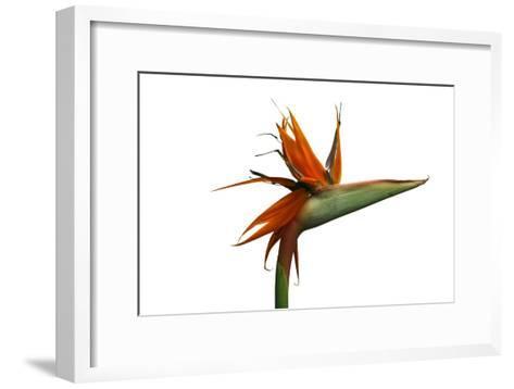 Bird of Paradise Flower-Victor De Schwanberg-Framed Art Print