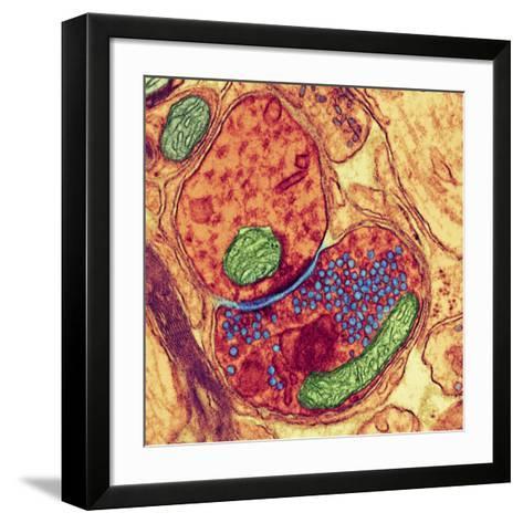 Synapse Nerve Junction, TEM-Thomas Deerinck-Framed Art Print