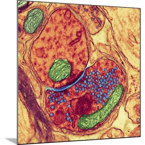 Synapse Nerve Junction, TEM-Thomas Deerinck-Mounted Photographic Print