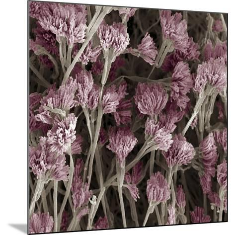 Penicillium Fungus, SEM-Steve Gschmeissner-Mounted Photographic Print