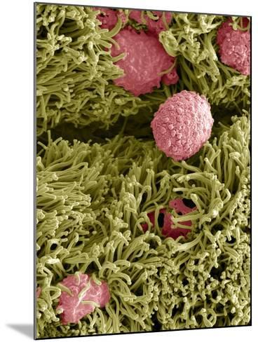 Snake Ciliated Lung Cells And Mucus, SEM-Steve Gschmeissner-Mounted Photographic Print