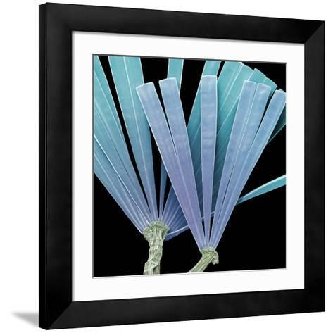 Licmorpha Freshwater Diatom, SEM-Steve Gschmeissner-Framed Art Print
