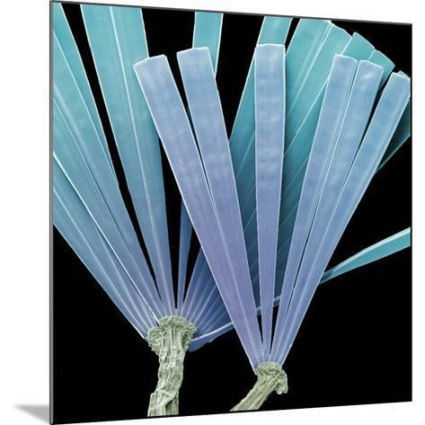 Licmorpha Freshwater Diatom, SEM-Steve Gschmeissner-Mounted Photographic Print