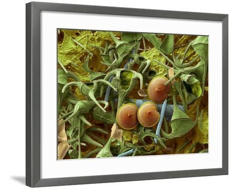 Dinoflagellates, SEM-Steve Gschmeissner-Framed Art Print