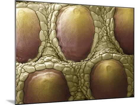 Komodo Dragon Skin, SEM-Steve Gschmeissner-Mounted Photographic Print
