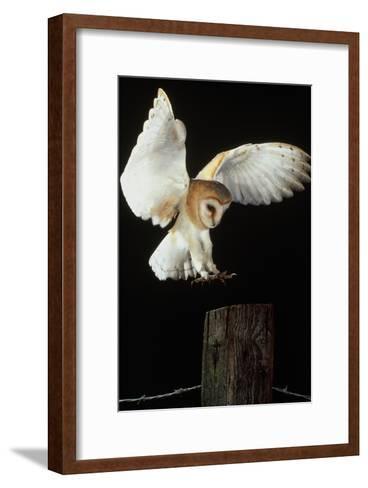 Barn Owl-Andy Harmer-Framed Art Print
