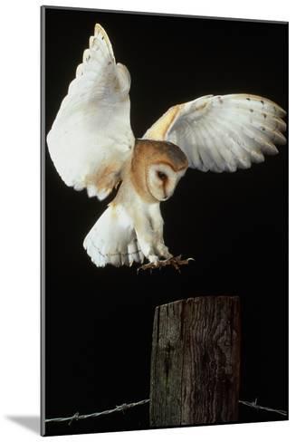 Barn Owl-Andy Harmer-Mounted Photographic Print