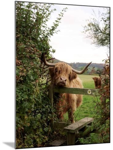Highland Cow-Tek Image-Mounted Photographic Print