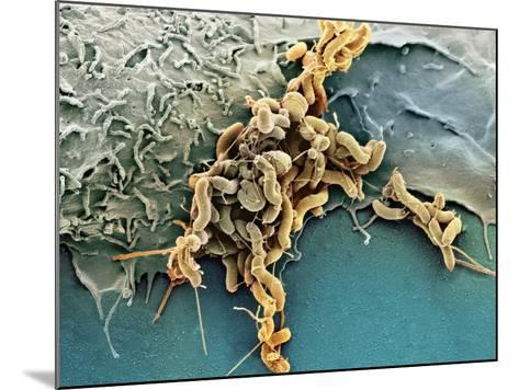Helicobacter Pylori Bacteria, SEM-Science Photo Library-Mounted Photographic Print