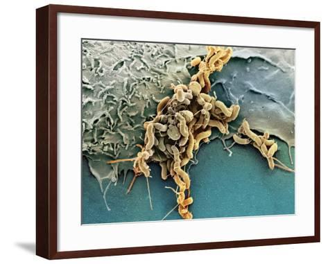 Helicobacter Pylori Bacteria, SEM-Science Photo Library-Framed Art Print
