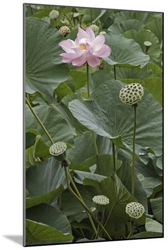 Sacred Lotus (Nelumbo Nucifera)-Dr. Nick Kurzenko-Mounted Photographic Print