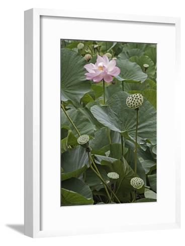 Sacred Lotus (Nelumbo Nucifera)-Dr. Nick Kurzenko-Framed Art Print