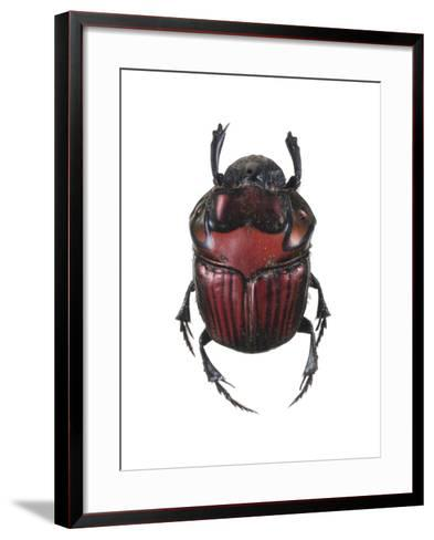 Phanaeus Dung Beetle-Lawrence Lawry-Framed Art Print