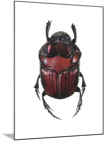 Phanaeus Dung Beetle-Lawrence Lawry-Mounted Photographic Print