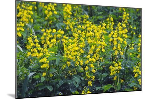 False Lupin Flowers (Thermopsis Sp.)-Dr. Nick Kurzenko-Mounted Photographic Print