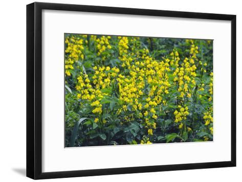 False Lupin Flowers (Thermopsis Sp.)-Dr. Nick Kurzenko-Framed Art Print