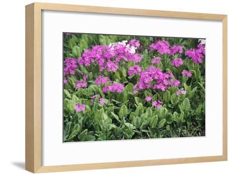 Primrose Flowers (Primula Patens)-Dr. Nick Kurzenko-Framed Art Print