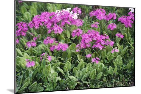Primrose Flowers (Primula Patens)-Dr. Nick Kurzenko-Mounted Photographic Print