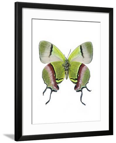 Crowned Hairstreak Butterfly-Lawrence Lawry-Framed Art Print