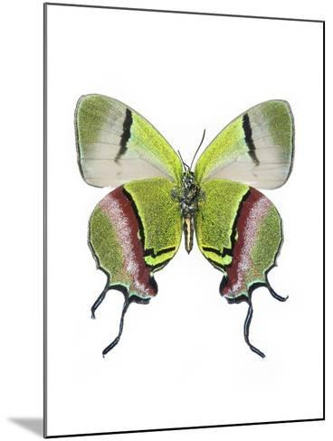 Crowned Hairstreak Butterfly-Lawrence Lawry-Mounted Photographic Print