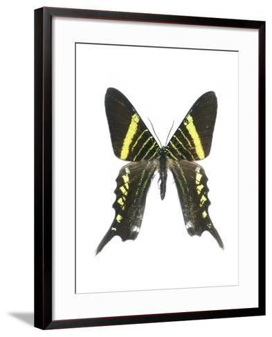 Urania Swallowtail Moth-Lawrence Lawry-Framed Art Print