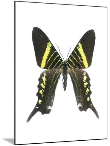 Urania Swallowtail Moth-Lawrence Lawry-Mounted Photographic Print