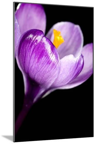 Crocus Flower (Crocus Sp.)-Lawrence Lawry-Mounted Photographic Print