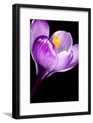 Crocus Flower (Crocus Sp.)-Lawrence Lawry-Framed Art Print
