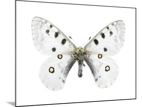 Mountain Apollo Butterfly-Lawrence Lawry-Mounted Photographic Print