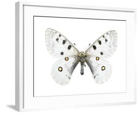 Mountain Apollo Butterfly-Lawrence Lawry-Framed Art Print
