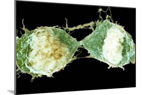 Cell Division, SEM-Science Photo Library-Mounted Photographic Print