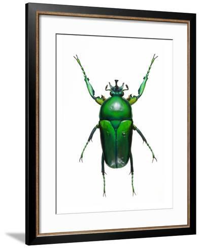 Neptunides Flower Beetle-Lawrence Lawry-Framed Art Print