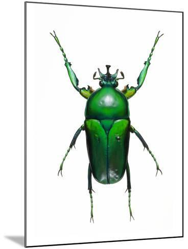Neptunides Flower Beetle-Lawrence Lawry-Mounted Photographic Print