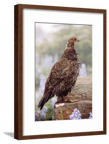 Blue Grouse-Bob Gibbons-Framed Art Print