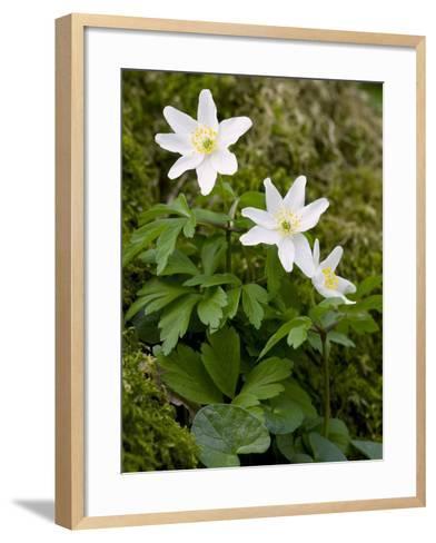 Wood Anemone (Anemone Nemorosa)-Bob Gibbons-Framed Art Print