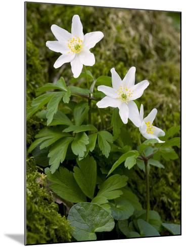 Wood Anemone (Anemone Nemorosa)-Bob Gibbons-Mounted Photographic Print