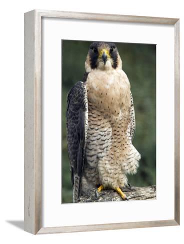 Peregrine Falcon-Bob Gibbons-Framed Art Print