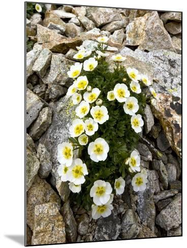 Glacier Crowfoot (Ranunculus Glacialis)-Bob Gibbons-Mounted Photographic Print