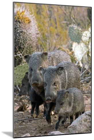Family of Collared Peccaries-Bob Gibbons-Mounted Photographic Print