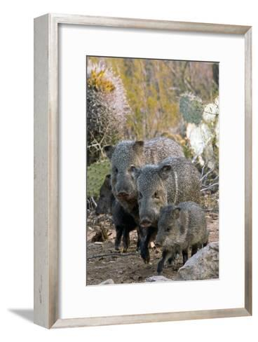 Family of Collared Peccaries-Bob Gibbons-Framed Art Print
