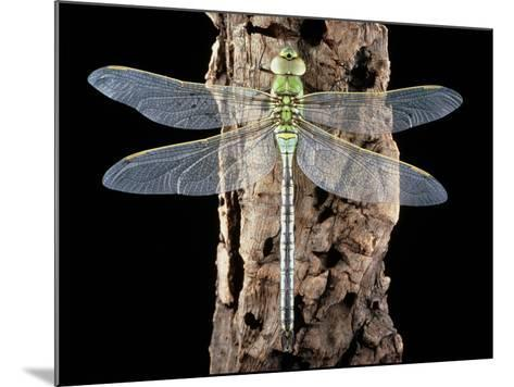 Emperor Dragonfly, Anax Imperator-Sinclair Stammers-Mounted Photographic Print
