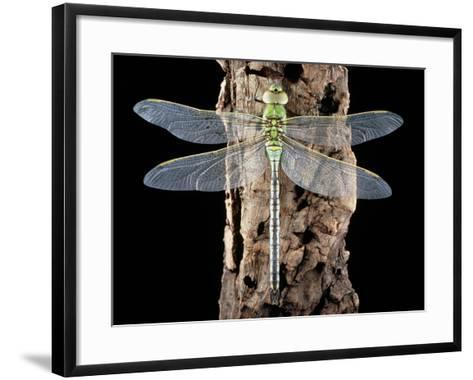 Emperor Dragonfly, Anax Imperator-Sinclair Stammers-Framed Art Print