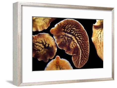 Liver Flukes, Macro Photograph-Sinclair Stammers-Framed Art Print