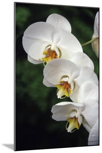 Orchid Flowers-Duncan Smith-Mounted Photographic Print